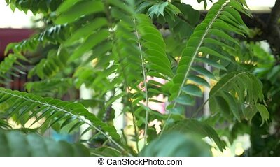 blurred background and bokeh, green leaves of mimosa.