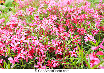 blurred background of pink flowers