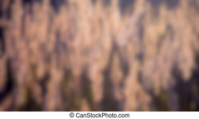 Blurred background. Old dry grass sways in the wind whisk toned.