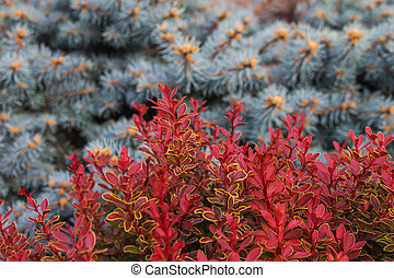 blurred background with a red leaves of ornamental plants