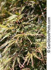 Blurred Background with Acer palmatum, palmate maple or Japanese maple close up