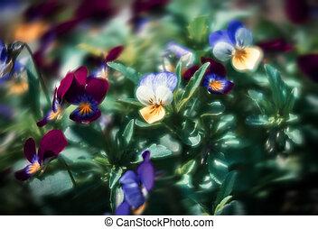 pansies flowers in the garden
