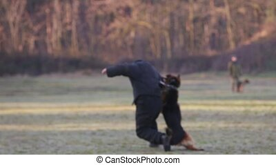 Blurred focus video footage. Soldiers training dog to attack in a field. Demonstration performance of police dogs, shepherd dogs, service dogs, service smart dogs, dog breeding, danger of attack.