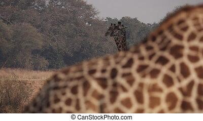 Blurred giraffe discovers 2 giraffes in focus