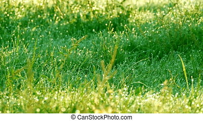 Blurred green grass background with the water drops and morning dew