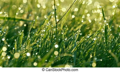 Blurred green grass background with the water drops and morning dew close up view