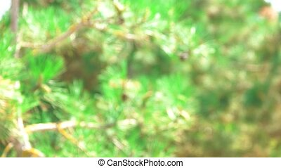 Blurred pine tree in forest.