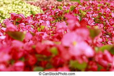 Blurred soft focus photography of bright pink flowers. Shallow depth of field. Flowerbed on a summer sunny day.