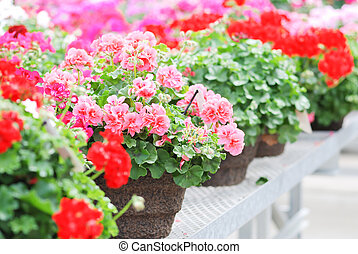 Blurry impatiens in potted, scientific name Impatiens walleriana flowers also called Balsam, flower bed of blossoms