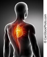 blutkreislauf, koerperbau, hinterteil, mann, röntgenaufnahme, ansicht