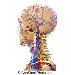 blutkreislauf, menschlicher schädel