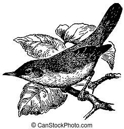 blyth's, caña, pájaro, curruca