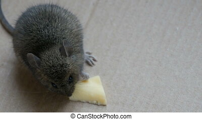 boîte, fromage, peu, manger, maison, carton, souris