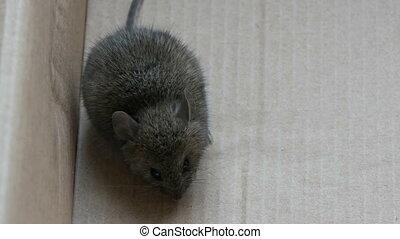 boîte, gris, assied, maison, carton, souris