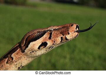 boa constrictor - boa