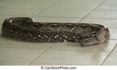 Boa Constrictor   Colourful body, Costa Rica - Close-up low...
