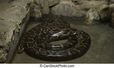Boa Constrictor Snake - Slowly moving a big size boa...