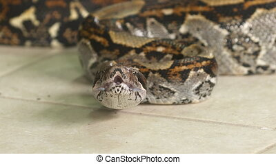 Boa Constrictor With Opened Mouth, Costa Rica - Close-up...