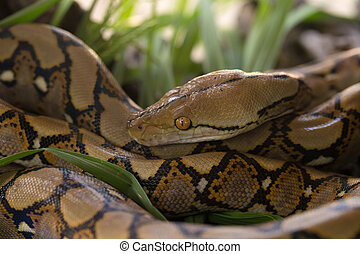 Boa portrait, Boa constrictor snake on tree branch