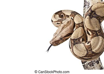 Boa snake (Boa constrictor constrictor) isolated on white...