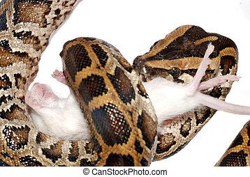 boa snake eat rat isolated