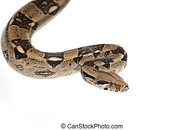 Boa snake - Boa Constrictor snake in studio isolated on...