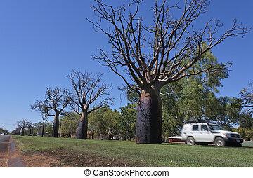 Boab tree growing in Derby Kimberley Western Australia