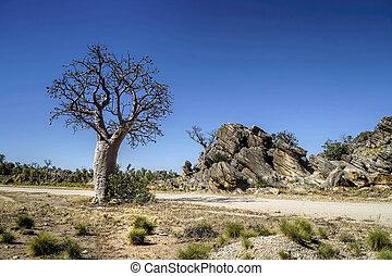 Boab Tree spinifex grass rocks