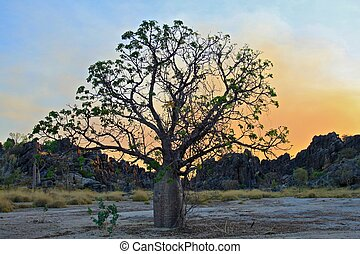 Boab Tree - a bottle Tree with smoke in the sky at sunset...