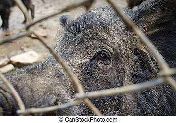 boar behind the fence