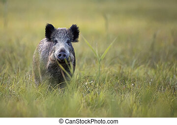 Boar in the wild, in a clearing.