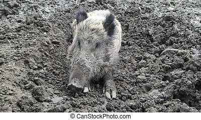 Boar moving its snout - A wild boar moving its snout