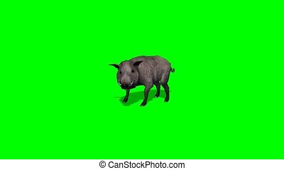 boar stands and looks around - green screen