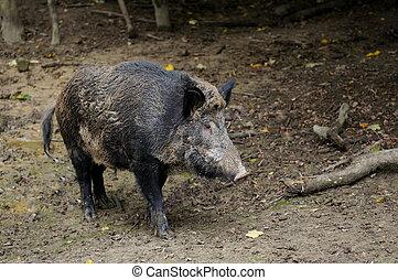 Boar attack Stock Photo | csp30356501