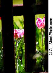 boards., забор, деревянный, tulips, видимый, за