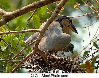 Boat-Billed Heron (Cochlearius cochlearius) Protecting ...