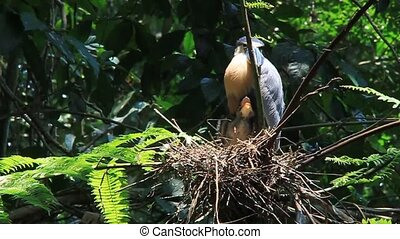 Boat-billed heron with an offspring