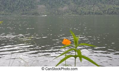 boat goes along the shore of a mountain lake. Teletskoye in...