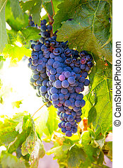 Bobal Wine grapes in vineyard raw ready for harvest in...