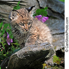 bobcat, 子ネコ