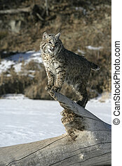 bobcat, (blue)