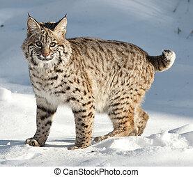 Bobcat - bobcat kitten in snow