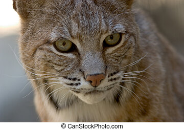 Bobcat Facial Portrait - Close-up portrait of a bobcat.