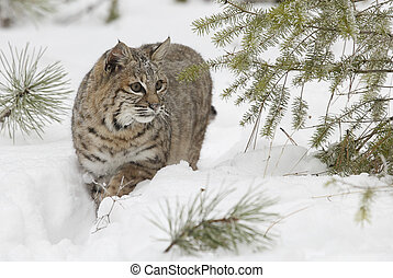 Bobcat in deep white snow walking out of pine tree forest