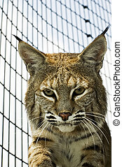 Bobcat in its cage at the zoo from inside the cage