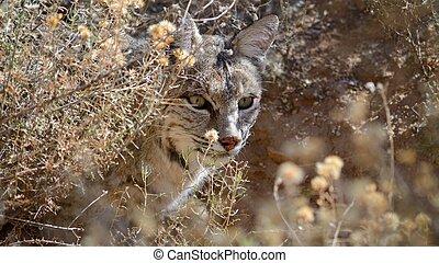 bobcat, in, nederlag