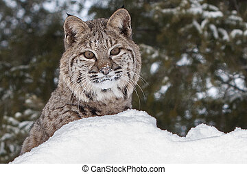 bobcat, in, snö