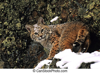Bobcat in Snow - a bobcat in snow covered rocks