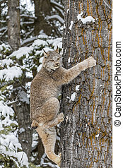 Bobcat In The Snow - A bobcat hunts for prey in a snowy...