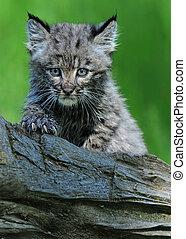 bobcat, kattunge